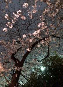 016 桜のトンネル6