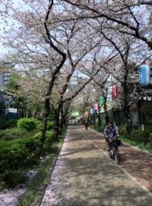 018 昼間の桜のトンネル