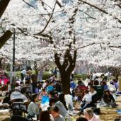 <日本文化部>桜満開!お花見!!